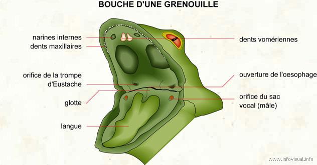 Titi Grosminet : Une grenouille dans la gorge 4